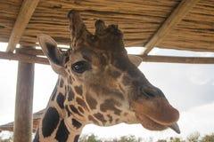 Lengua de la jirafa Foto de archivo libre de regalías