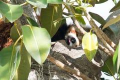 Lengua de la panda roja hacia fuera Foto de archivo