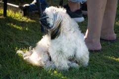 Lengua de perro del pekinés hacia fuera en hierba verde Retrato del perro pekingese feliz que miente en hierba en paseo del veran imagen de archivo libre de regalías