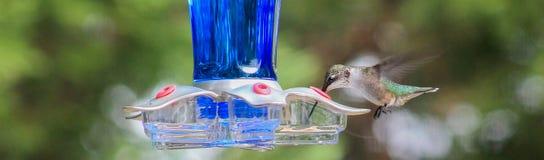 Lengua de Ruby Hummingbird dentro del alimentador Foto de archivo libre de regalías