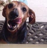 Lengua del perro basset Imagen de archivo