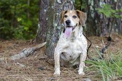 Lengua mayor del jadeo del perro del beagle Fotos de archivo