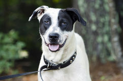 Lengua mezclada blanco y negro del jadeo del perro de la raza Fotos de archivo