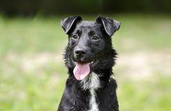 Lengua mezclada collie negro del jadeo del perro de la raza Fotografía de archivo