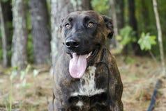 Lengua mezclada great dane berrenda del jadeo del perro de la raza Imagen de archivo
