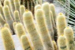 """leninghausii de Eriocactus del ¿del ï"""" (leninghausii del cactus de Erio) foto de archivo libre de regalías"""