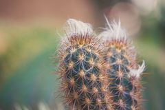 Leninghausii Eriocactus, кактус крупного плана в саде с blurr стоковое фото rf