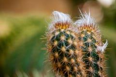 Leninghausii Eriocactus, кактус крупного плана в саде с blurr стоковое фото