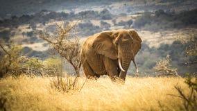 Leningsolifant in het nationale park Kenia Oost-Afrika van Tsavo in het nationale park Kenia Oost-Afrika van Tsavo royalty-vrije stock afbeeldingen