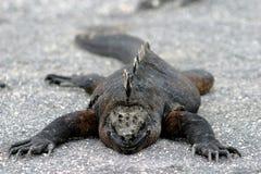 leniwa jaszczurka obraz stock