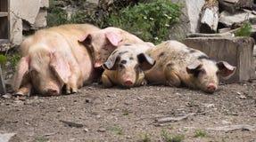 leniwe świnie Zdjęcia Royalty Free