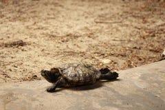 Leniwi się żółwia Obrazy Stock