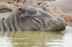 leniwy hipopotam Zdjęcie Stock