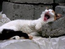 leniwy kot. Obrazy Royalty Free