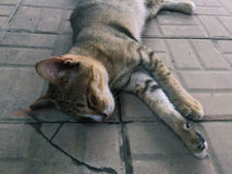 leniwy kot Obrazy Royalty Free