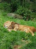 leniwy lew obraz stock