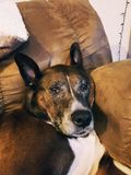 leniwy psa fotografia royalty free