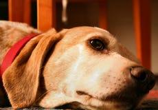 leniwy psa Obrazy Stock