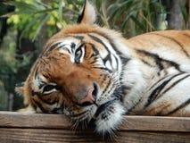 leniwy tygrys Fotografia Royalty Free