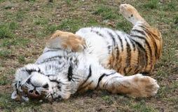 leniwy tygrys Obrazy Stock