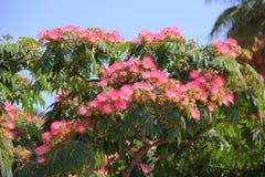 Lenkoran acacia or silk tree Stock Photography
