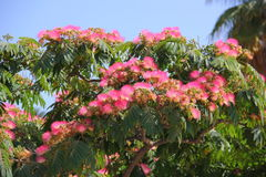 Lenkoran akacja lub jedwabniczy drzewo fotografia stock