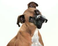 Lenny il cane fotografie stock libere da diritti