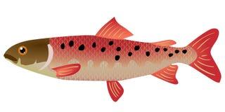 鱼lenok 免版税库存图片