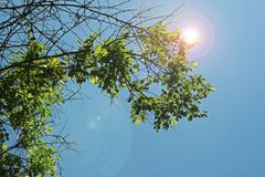 LENS FLARE ADDED TO GREEN FOLIAGE AGAINST BLUE SKY. View of bright lens flare added to branch with bright green foliage against a blue sky royalty free stock images