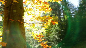 Lens Flare in Autumn Forest. Dense autumn forest. Bright sun shines through the yellow leaves. Natural lens flare