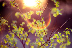 Lens flare nature green. Young green spring leaves, fresh nature background with unique lens flare stock photos