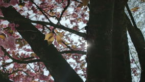 Lens Flare Pink Cherry Blossom Golden Leaves. Medium low angle high dynamic range shallow depth of field tracking slider shot of the sun appearing from behind a stock footage