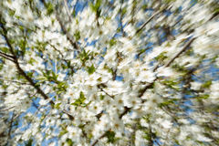 Lens zoom motion blur of a blooming apple tree branches against blue sky Royalty Free Stock Photo