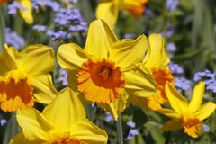 Lent lilies, Daffodils and Forget-me-not in spring, Germany Stock Photo