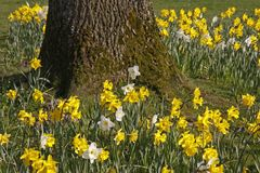 Lent lilies, Daffodils in spring, Germany Stock Photos
