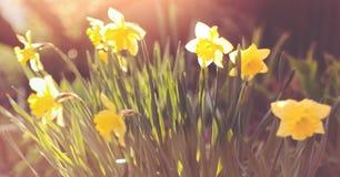 Lent lilies. In a garden in spring Stock Photos