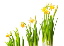 Lent lily. (daffodil) isolated on white stock photos