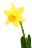 Lent lily. On white ground royalty free stock image