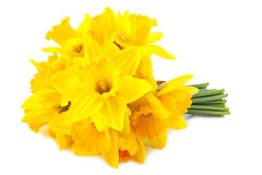 Lent lily (daffodil) 1. Bouquet of yellow lent lily (daffodil) isolated on white background Royalty Free Stock Images