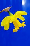 Lent lily in full bloom. On blue background royalty free stock photography
