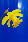 Lent lily in full bloom. On blue background royalty free stock photos