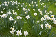 Lent lily in full bloom. On green field Stock Image