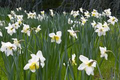 Free Lent Lily In Full Bloom Royalty Free Stock Images - 30159179