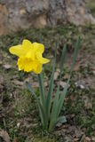 Lent lily. Yellow lent lilly or daff as easter flower stock images