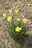 Lent lily. Yellow lent lilly or daff as easter flower royalty free stock image