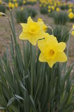 Lent lily. Yellow lent lilly or daff as easter flower royalty free stock images