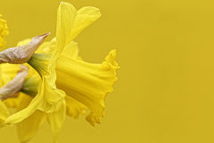 Lent lily. Yellow lent lily with textspace for greeting card Royalty Free Stock Photos