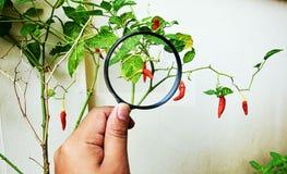 Lente d'ingrandimento e un albero del peperoncino rosso Immagine Stock