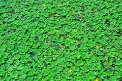 A lente da lentilha-d'água ou da água, está florescendo as plantas aquáticas que flutuam sobre imagens de stock