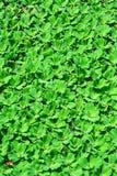A lente da lentilha-d'água ou da água, está florescendo as plantas aquáticas que flutuam sobre imagem de stock royalty free